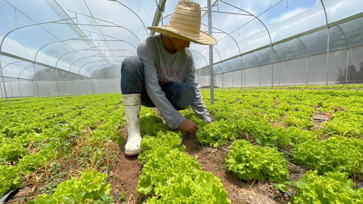 Productor nicaragüense de lechuga gana proyecto regional de inversión agropecuaria de Walmart de México y Centroamérica